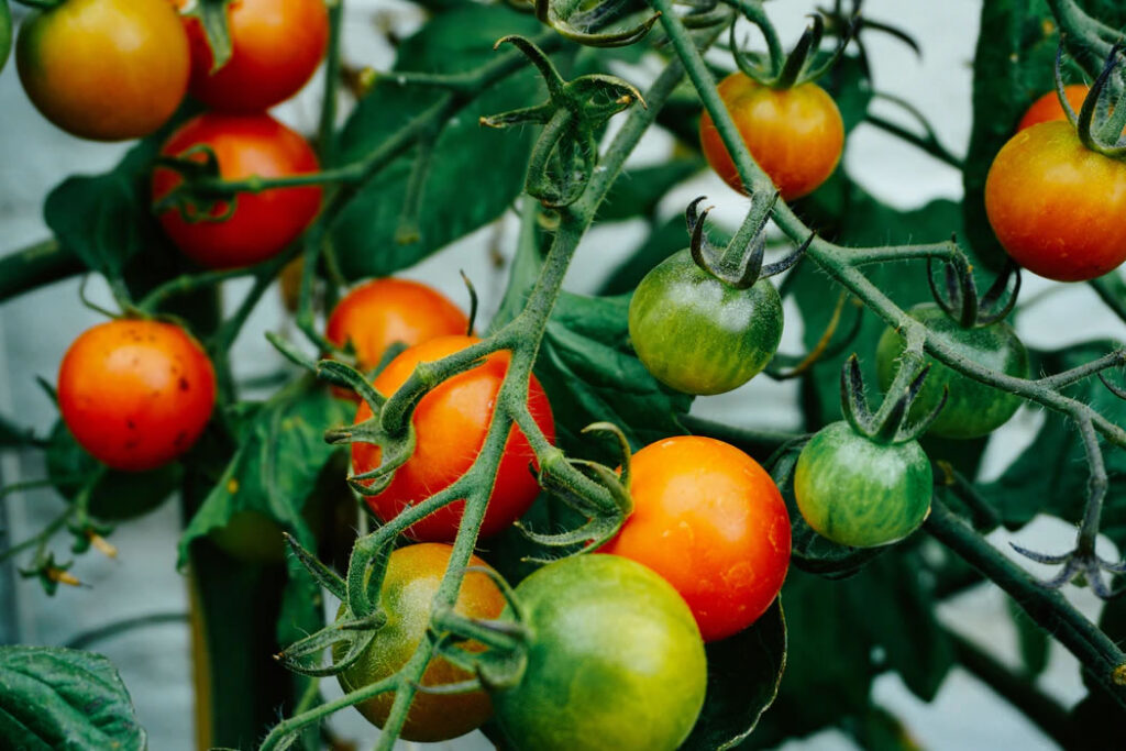 Grow Tomatoes in Containers