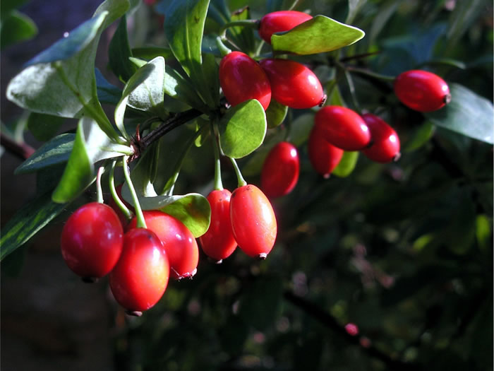 Rose Hips: How to Harvest, Tea, Soap, Wine & More