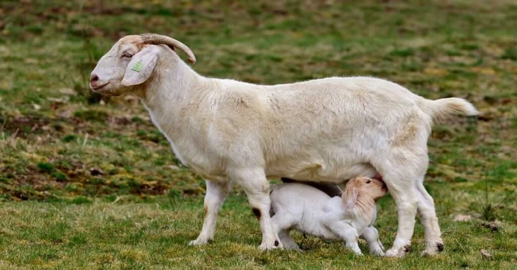 How to Raise Dairy Goats for Milk