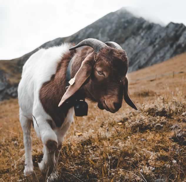 How long do goats live