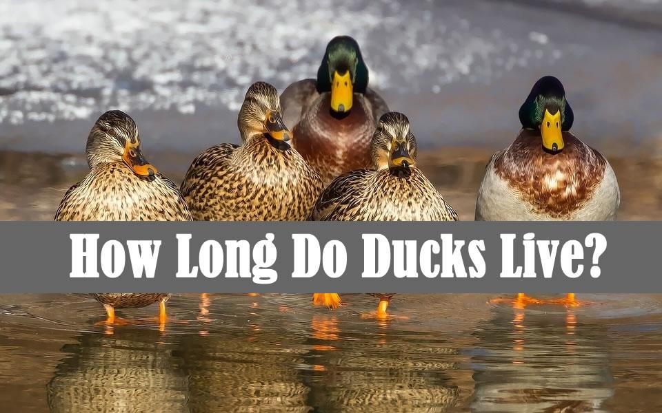 How Long Do Ducks Live